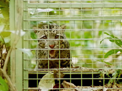 The Borneo Wild Cats Veterinary Project