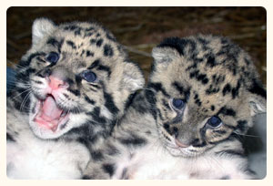 Adopt a clouded leopard