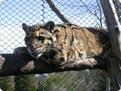Studies of Clouded Leopard Behavior Correlating with Stress Hormone Production